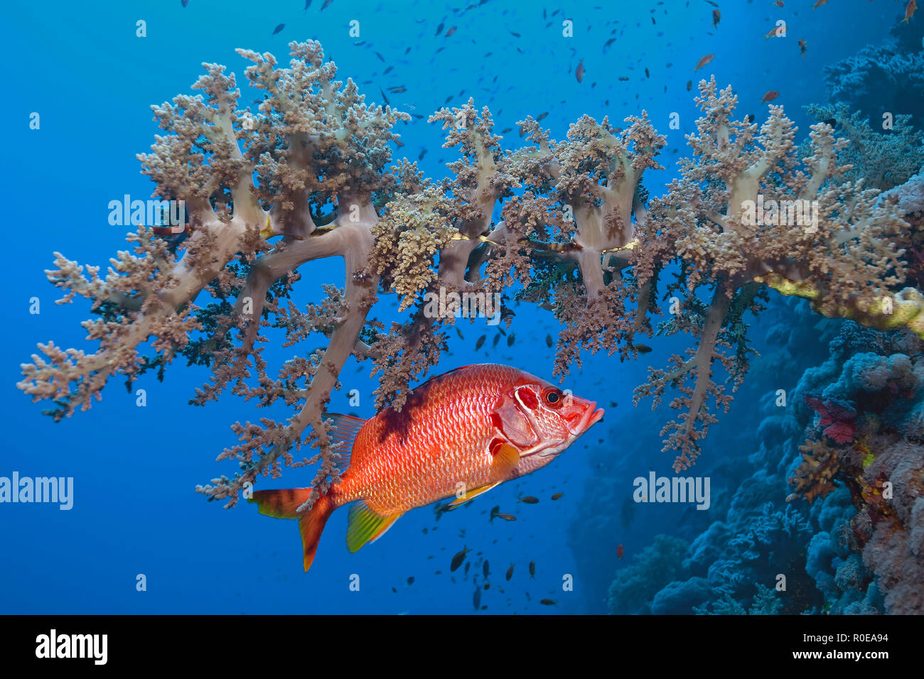 Squirrelfish (Sargocentron spiniferum) under a soft-coral, Marsa Alam, Egypt - Stock Image