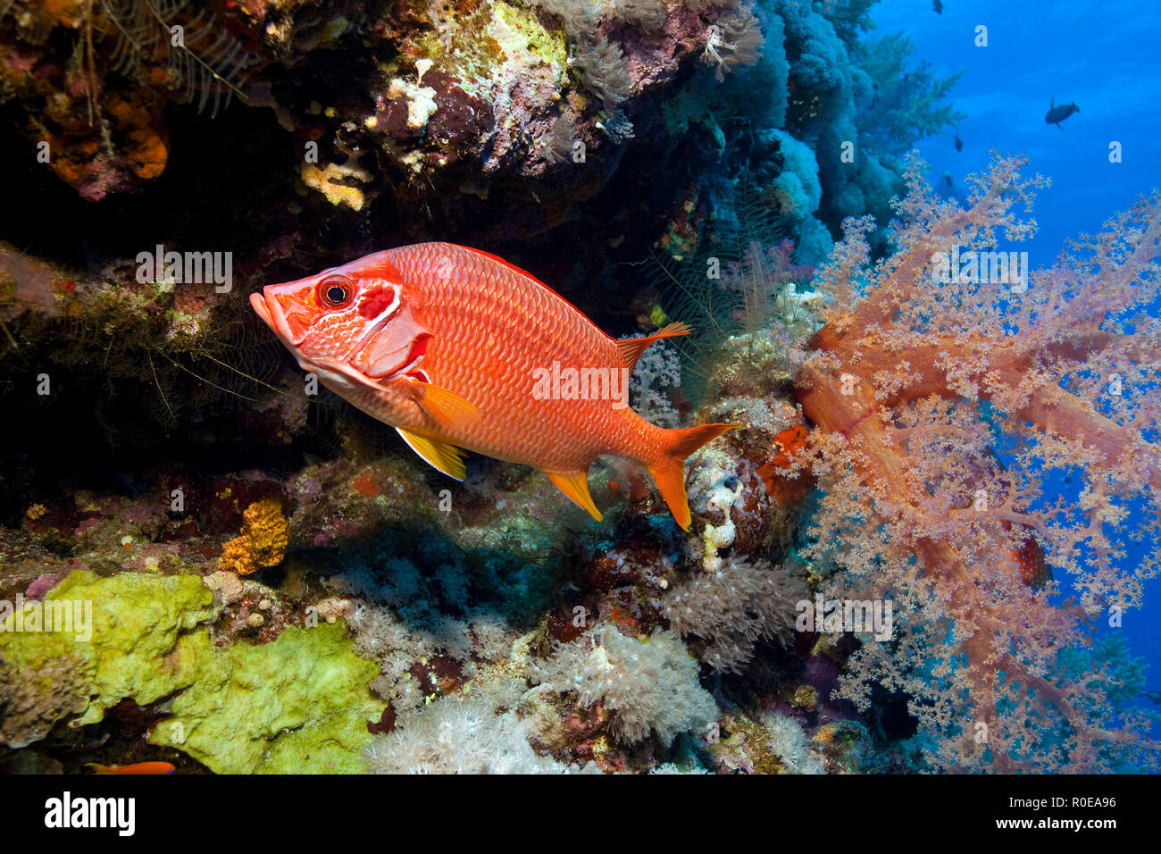 Squirrelfish (Sargocentron spiniferum) at a soft-coral, Marsa Alam, Egypt - Stock Image