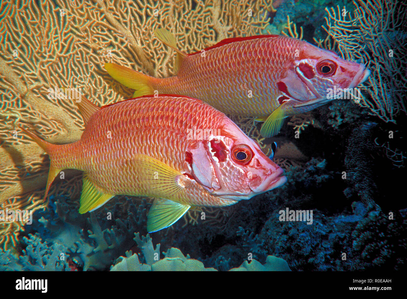 Squirrelfish (Sargocentron spiniferum), pair at a seafan, Marsa Alam, Egypt - Stock Image