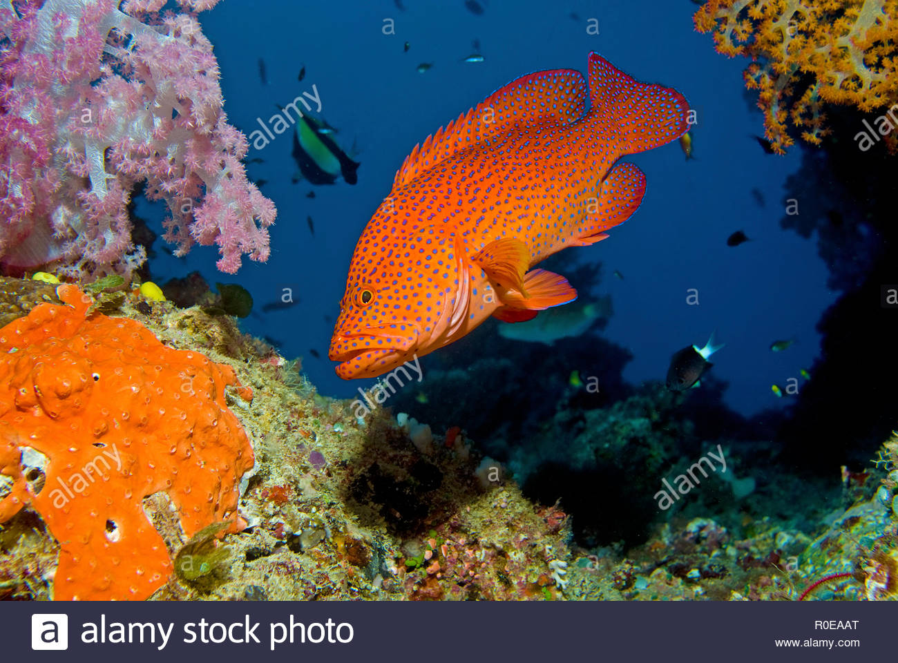 Coral Grouper or Coral Trout (Cephalopholis miniata) at a coral reef, Fidji islands - Stock Image