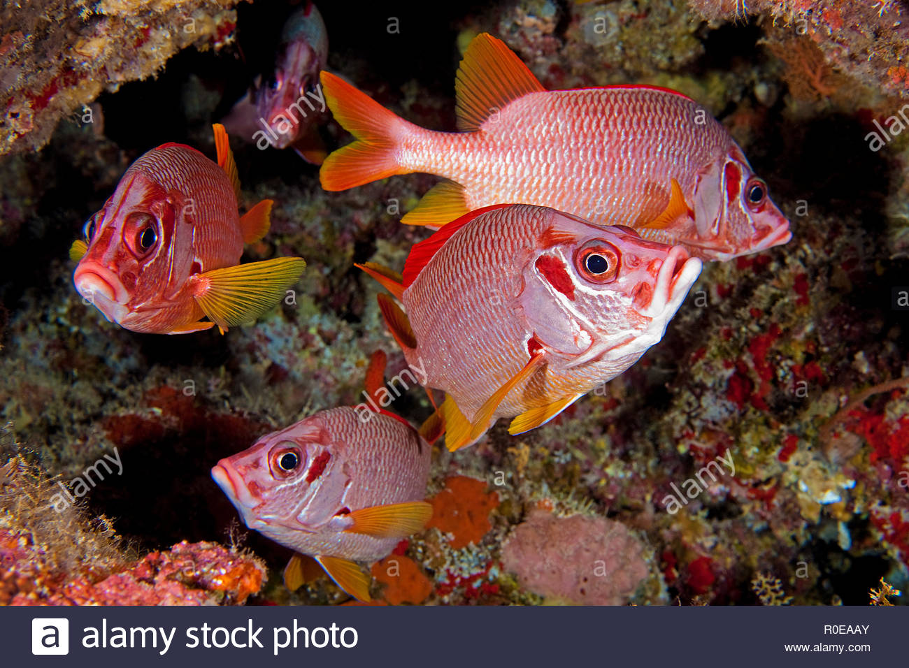 Squirrelfish (Sargocentron spiniferum), group, Tubbataha reef, Palawan, Philippines - Stock Image