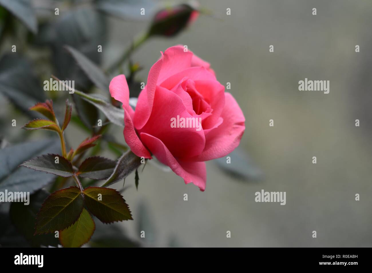 Bright pink rose on grey background Stock Photo