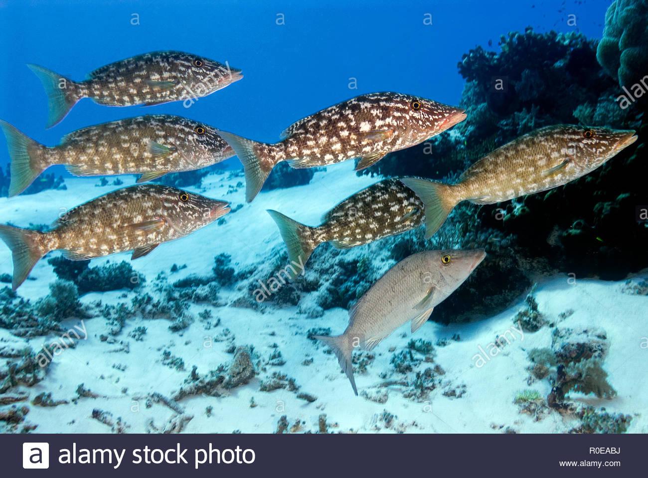 Longface emperor (Lethrinus olivaceus), group, Tubbataha reef, Palawan, Philippines - Stock Image
