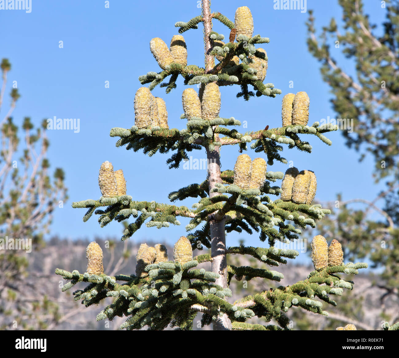 Red Fir, maturing cones  'Abies magnifica' tree, maturing cones. - Stock Image