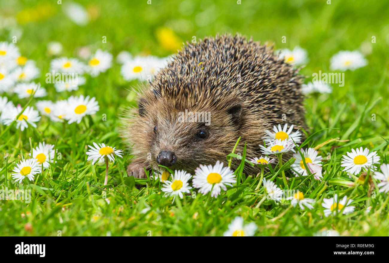Hedgehog, young, wild, native, European hedgehog, Erinaceus europaeus, in natural garden habitat during Spring time surrounded by bright white daisies - Stock Image