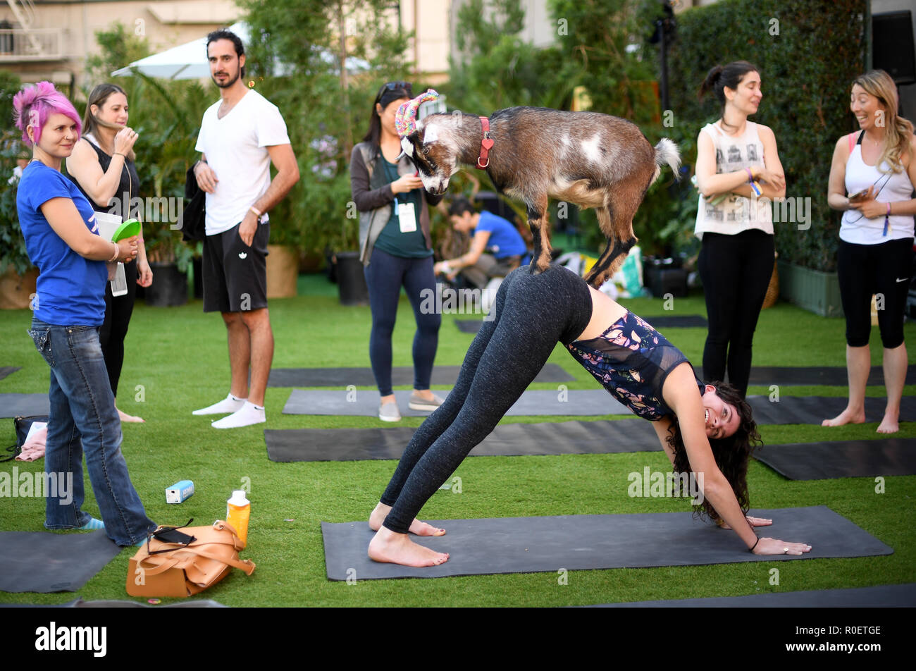 Goat Yoga High Resolution Stock Photography And Images Alamy
