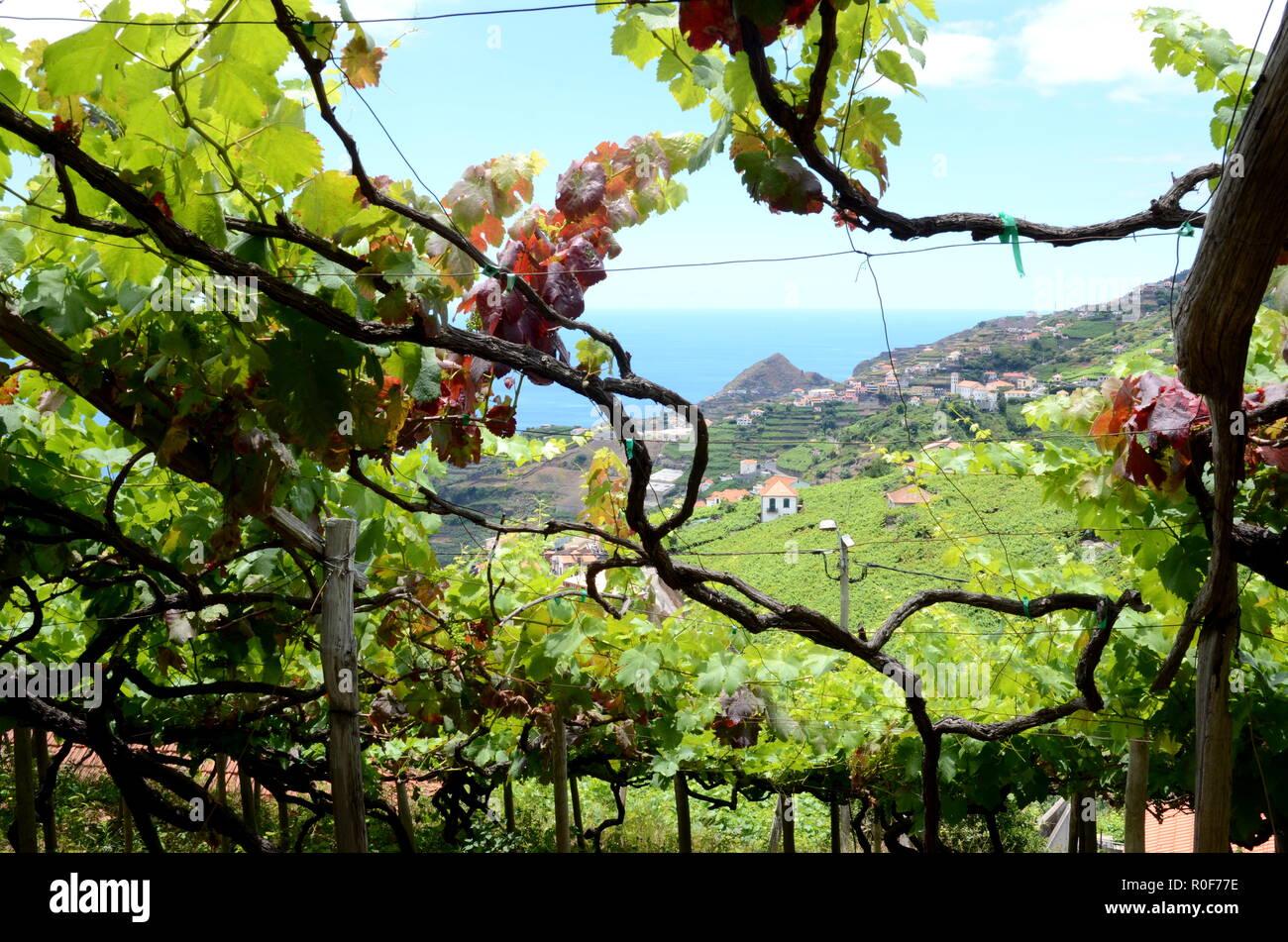 Vineyards with sea view near Estreito de Camara de Lobos, Madeira Stock Photo