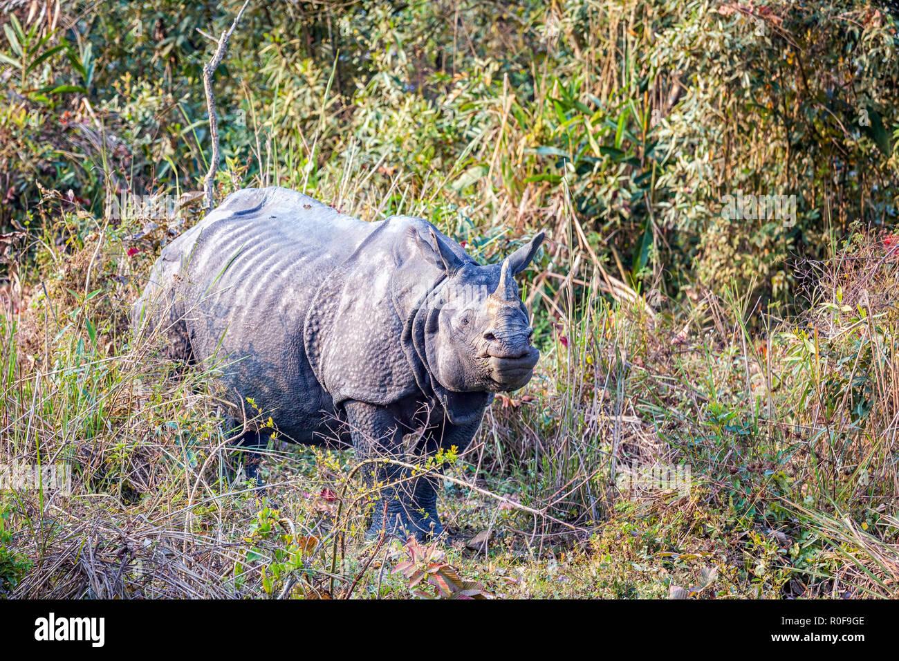Indian rhinoceros (Rhinoceros unicornis) in Kaziranga National Park, Assam, India - Stock Image