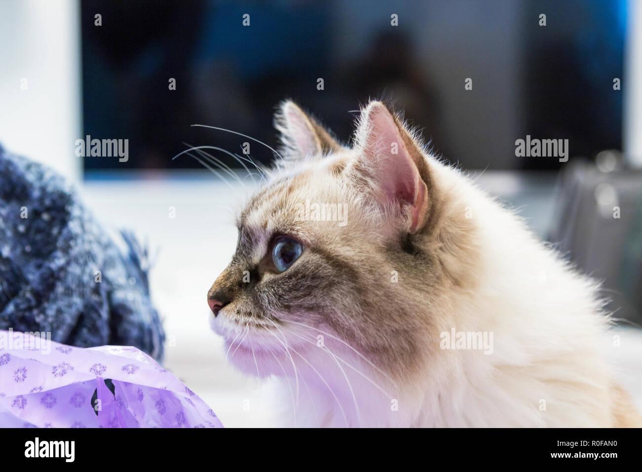 Beauty domestic cat at home, siberian breed female neva masquerade - Stock Image