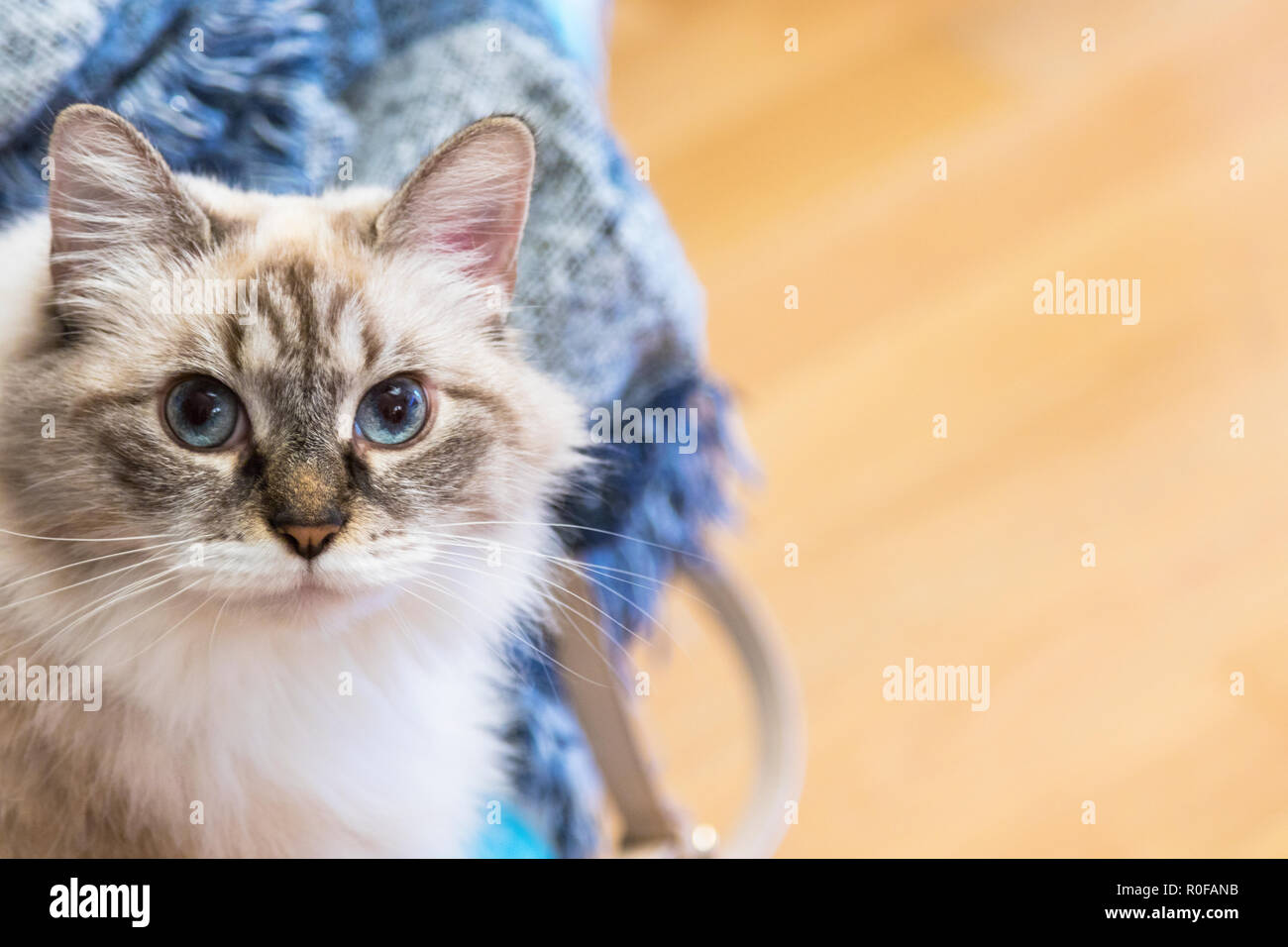 Beauty domestic cat at home, siberian breed - Stock Image