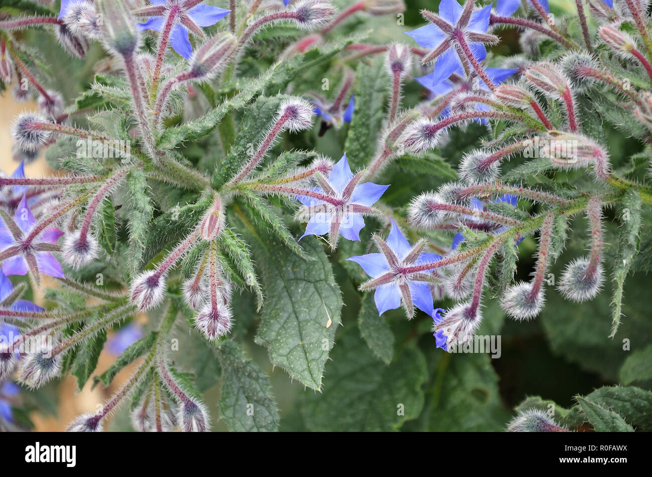 close-up of a small bush of borago officinalis, the starflower, with blue blossoms and hairy leaves and stems Stock Photo