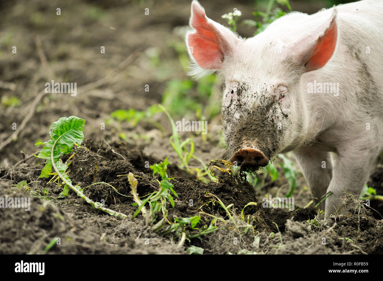 Young pig digging soil to eat grass roots Stock Photo