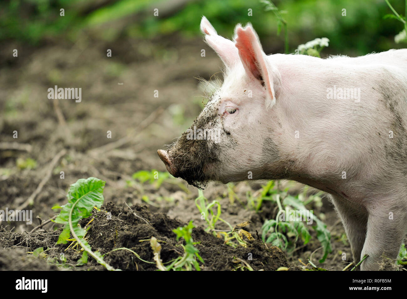 Young pig digging soil to eat grass roots - Stock Image
