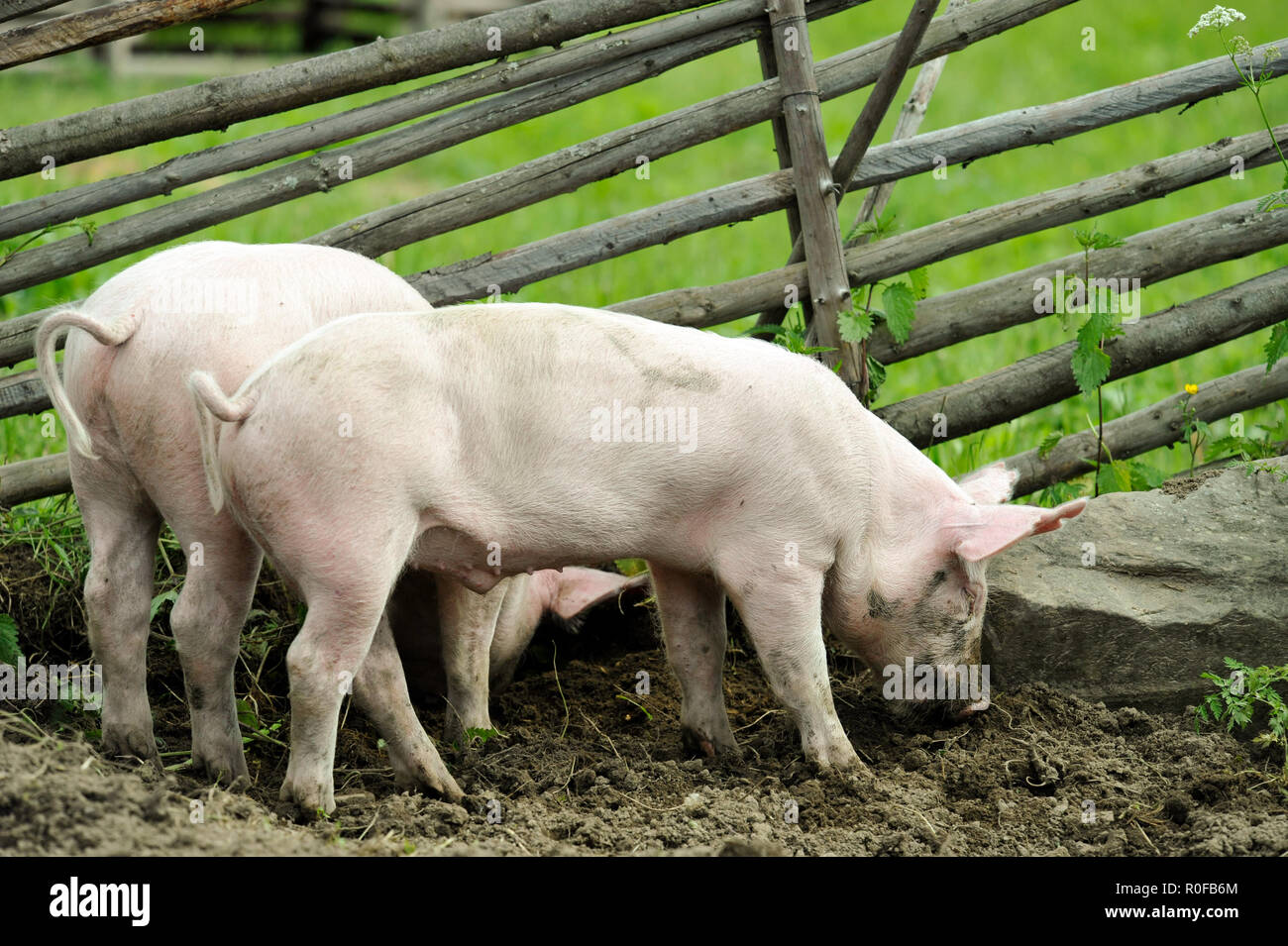 Young pigs digging soil to eat grass roots - Stock Image