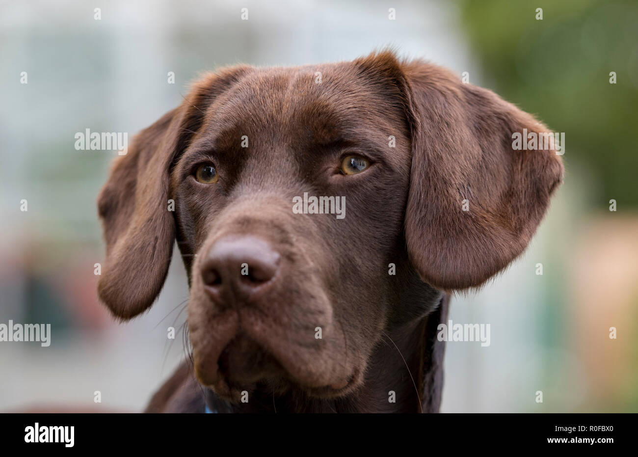 labradinger or springador springer spaniel and Labrador cross-bred gundog looking alert and cute. - Stock Image
