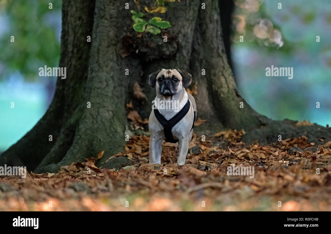 Puggle-Cross between a Pug and Beagle dog- Canis lupus familiaris. Stock Photo