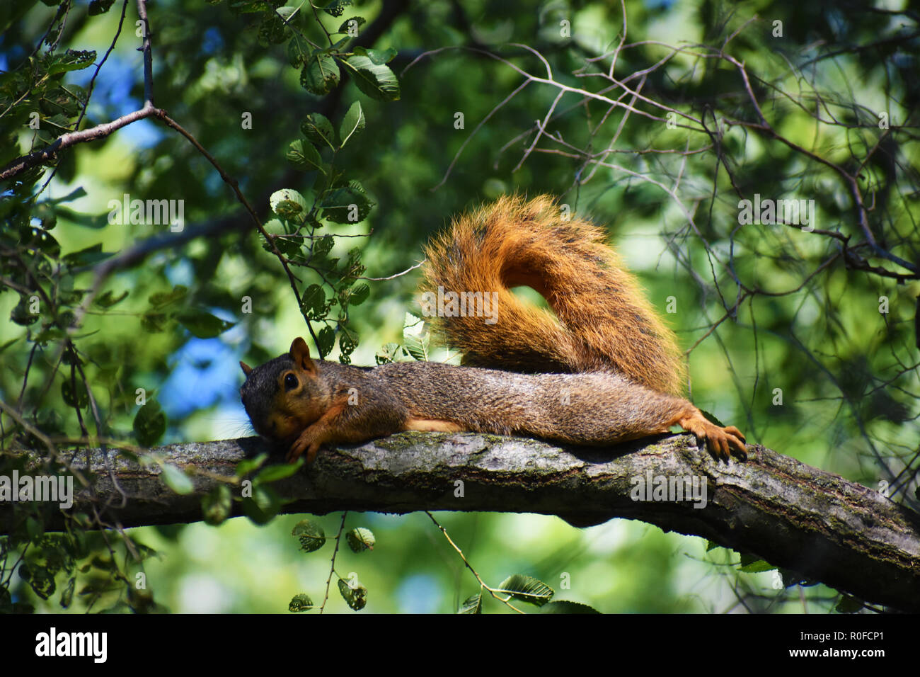 Fox squirrel (Sciurus niger) lounging on a tree limb with blurred green leaves in background - Stock Image