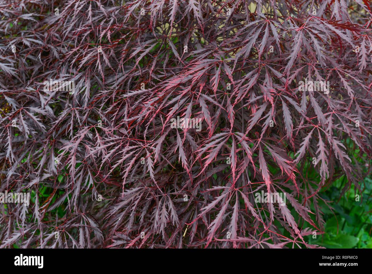 Purple Acer Palmatum Japanese Maple Stock Photos Purple Acer
