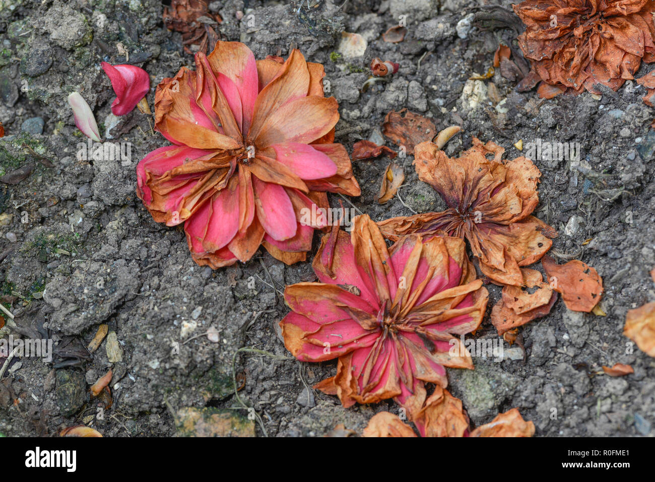 Dead pink red flowers on earthy ground. Metaphor 'seen better days', dead flowers. - Stock Image
