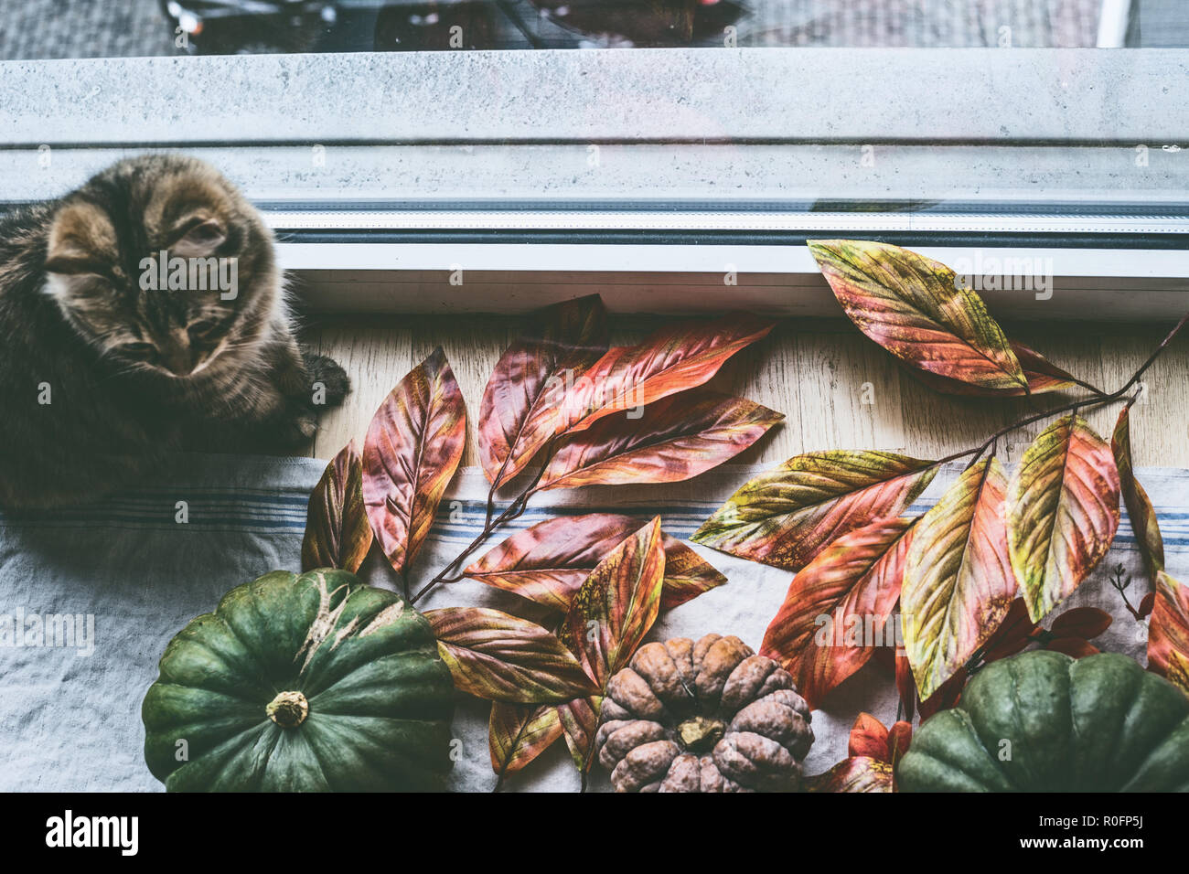Sweet cat is sitting by window with various colorful organic farm pumpkins with autumn leaves, top view. Cozy autumn home lifestyle - Stock Image