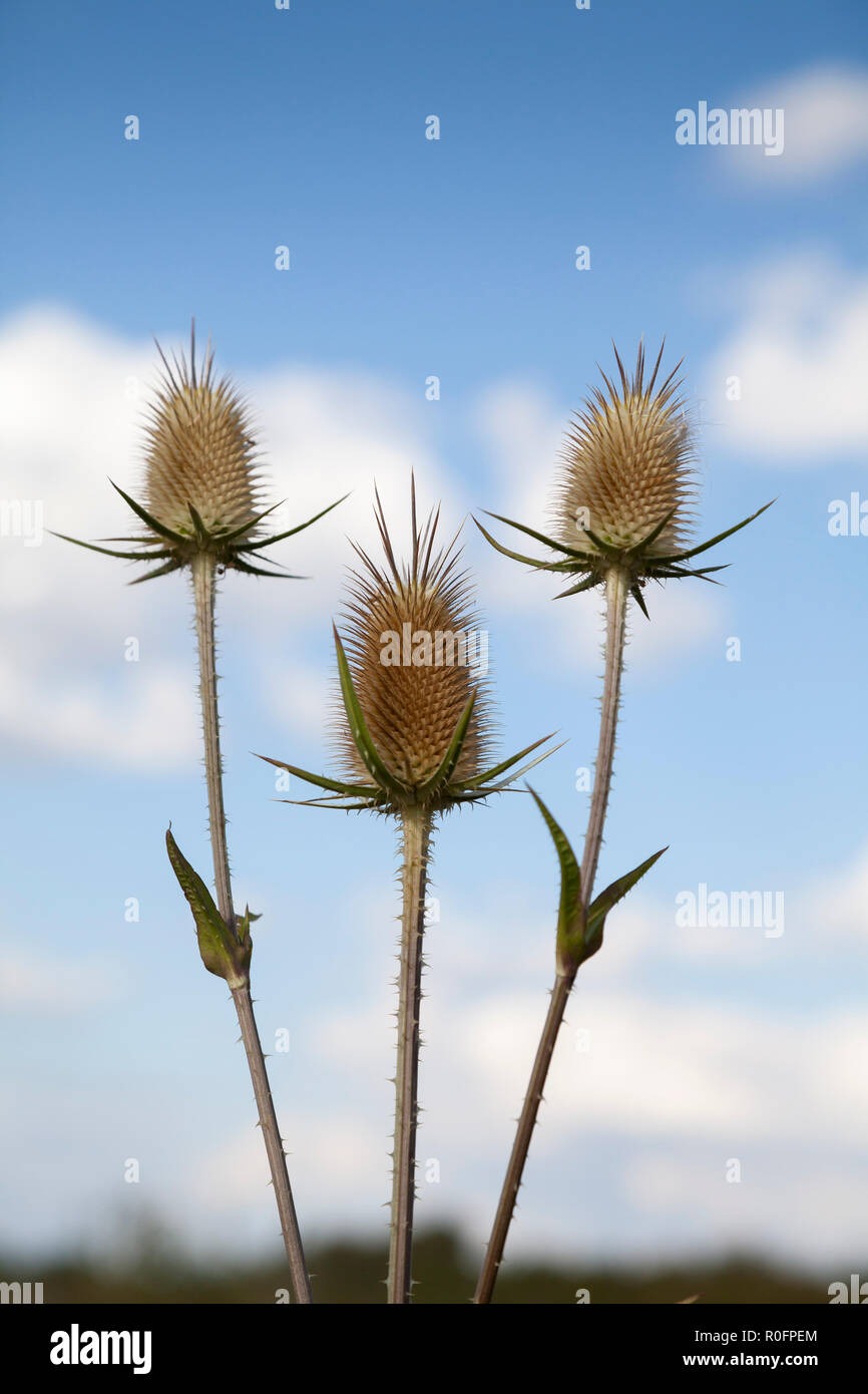 Common teasel  (Dipsacus fullonum) Stock Photo