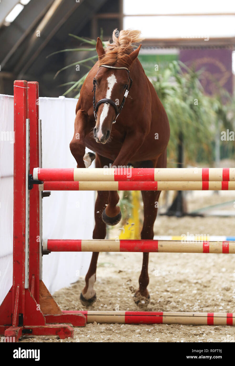 Free Jumping Horse High Resolution Stock Photography And Images Alamy