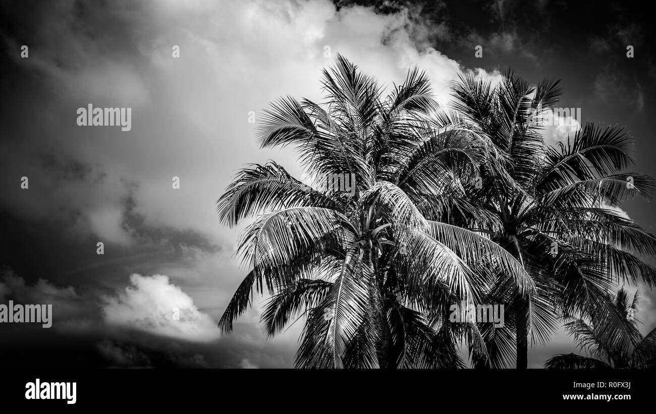 Coconut palm trees, beautiful tropical background, tropical nature. - Stock Image
