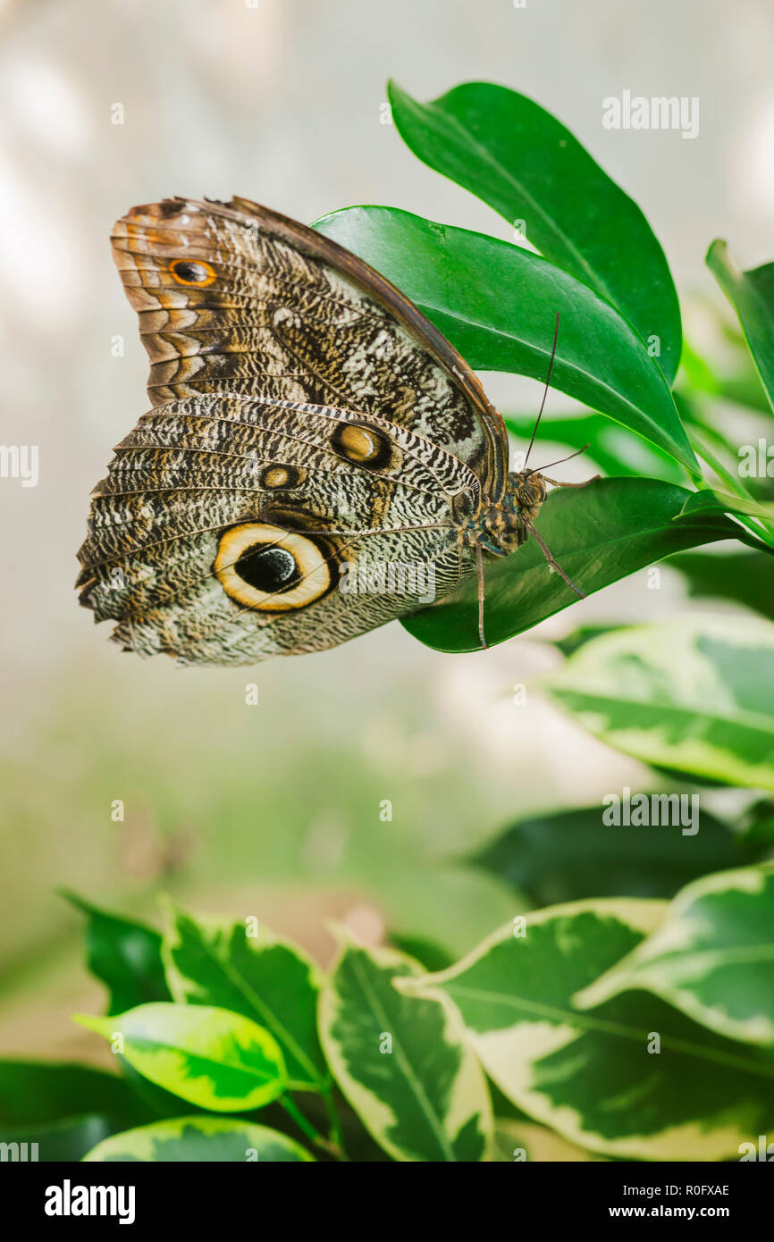 Lateral close-up of a banana-leaf (lat: caligo beltrao) with folded wings sitting on a green oval leaf in front of light background. - Stock Image