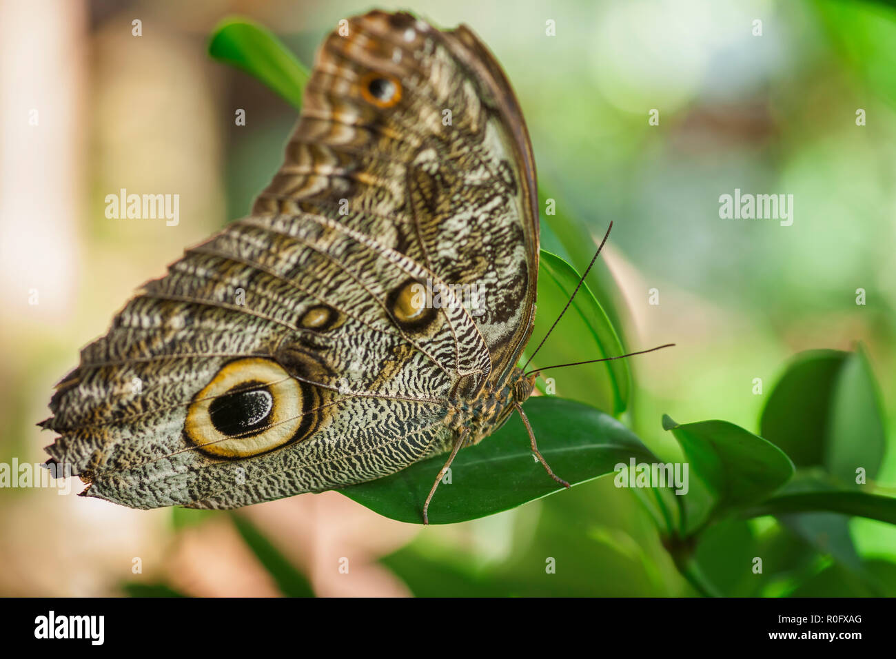 Laterally backward close-up of a banana flater (lat: Caligo beltrao) with folded wings sitting on a green oval leaf against light background. - Stock Image