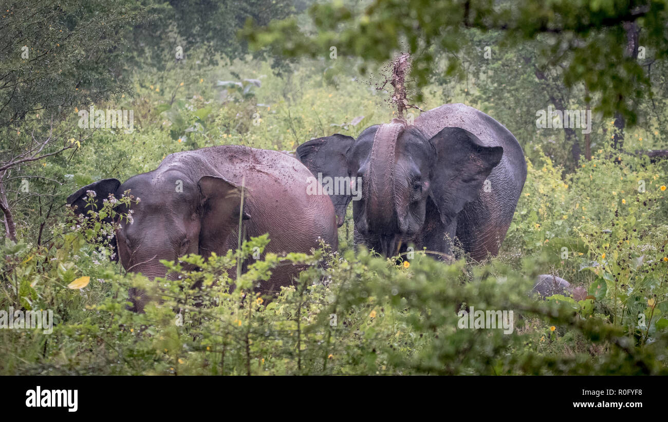 Wild elephants, Udawalawe national park Sri Lanka Stock Photo