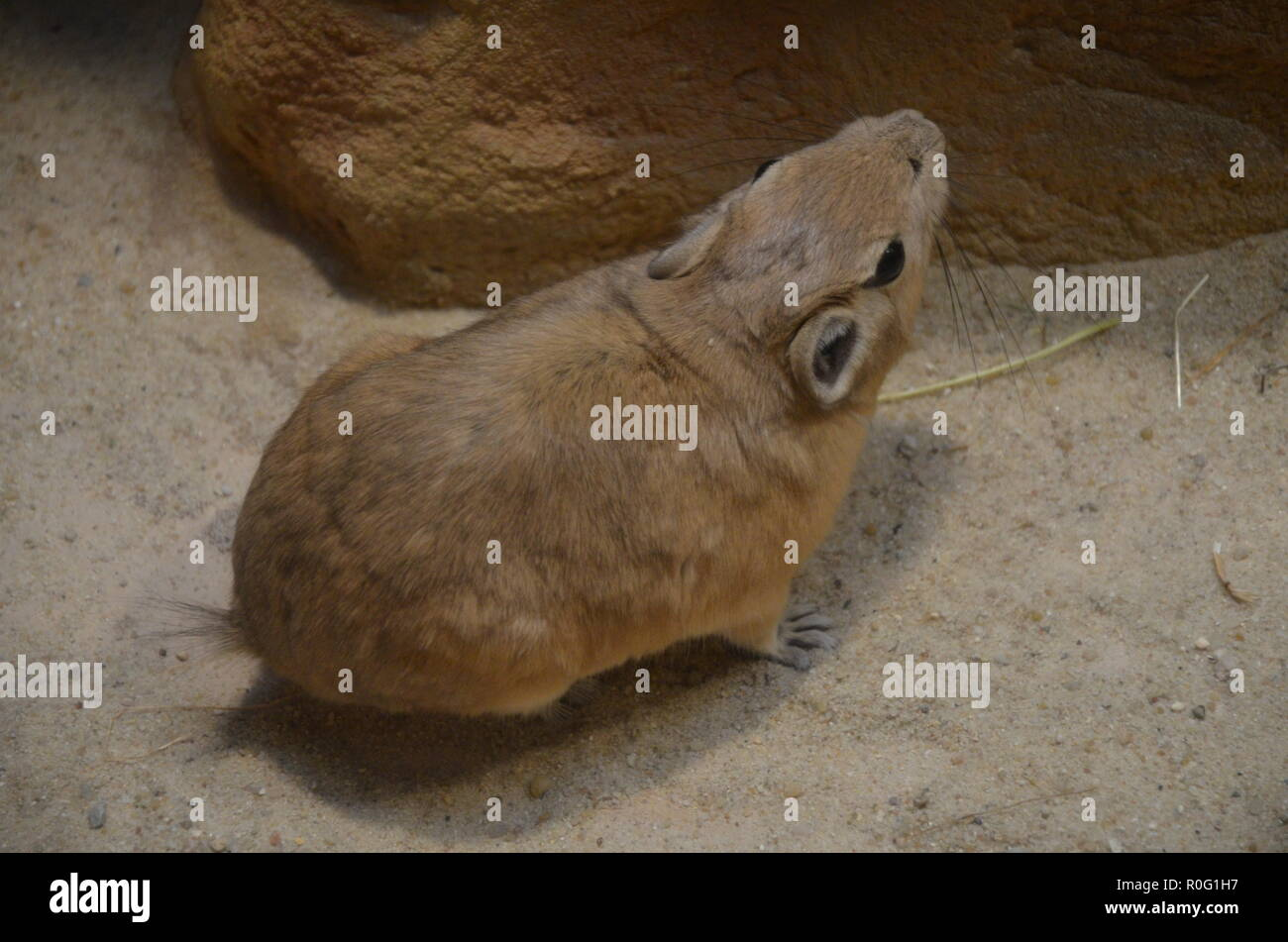 Common gundi (Ctenodactylus gundi) - Stock Image