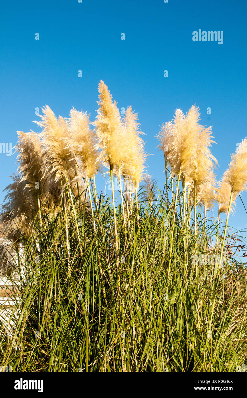 Cortaderia selloana Pumila Pampas Grass with large silvery yellow feather heads set against Blue sky . - Stock Image