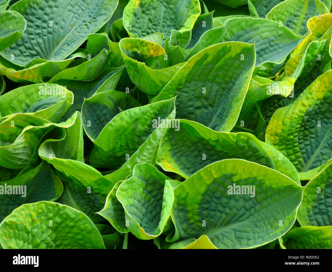 Variegated Hosta Plant Leaves Stock Photos Variegated Hosta Plant