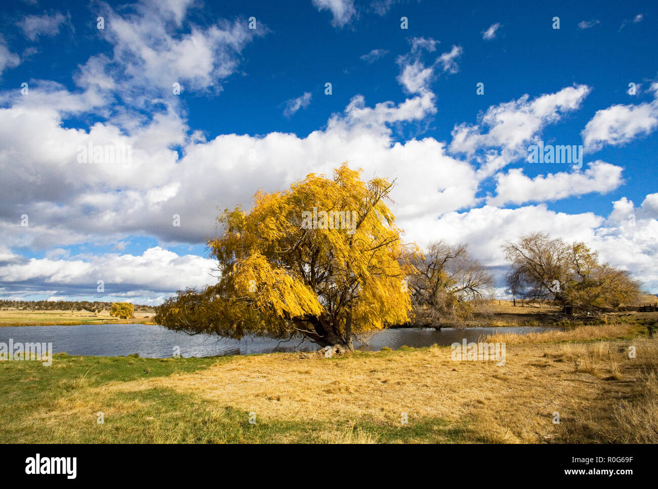 A beautiful weeping willow tree changing from green to gold on an autumn day in October in a remote ranch pasture in central Oregon. Stock Photo