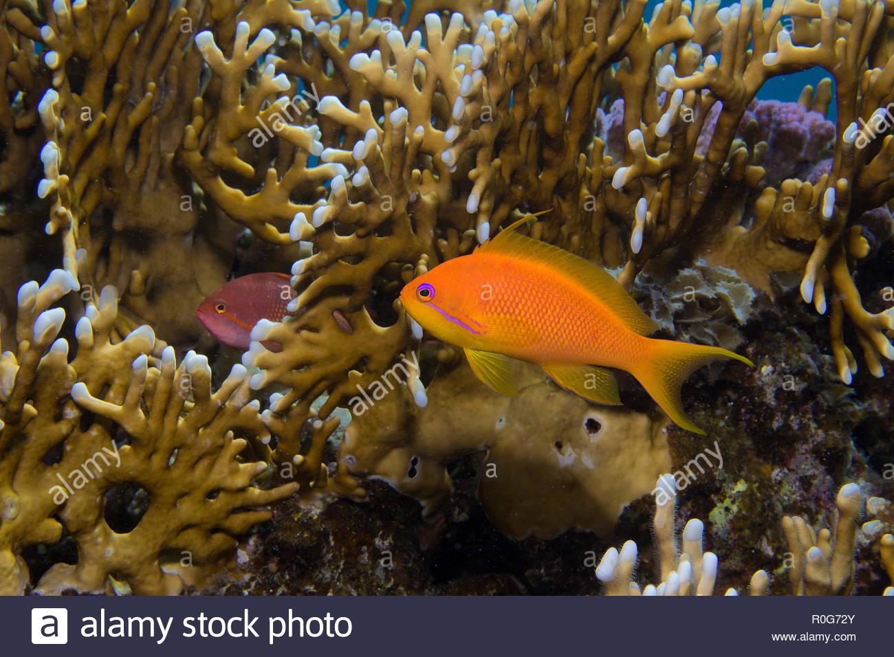 Jewel fairy basslet or Lyretail anthias (Pseudanthias squamipinnis) at fire corals (Millepora dichotoma), Sharm El Sheikh, Sinai, Egypt - Stock Image