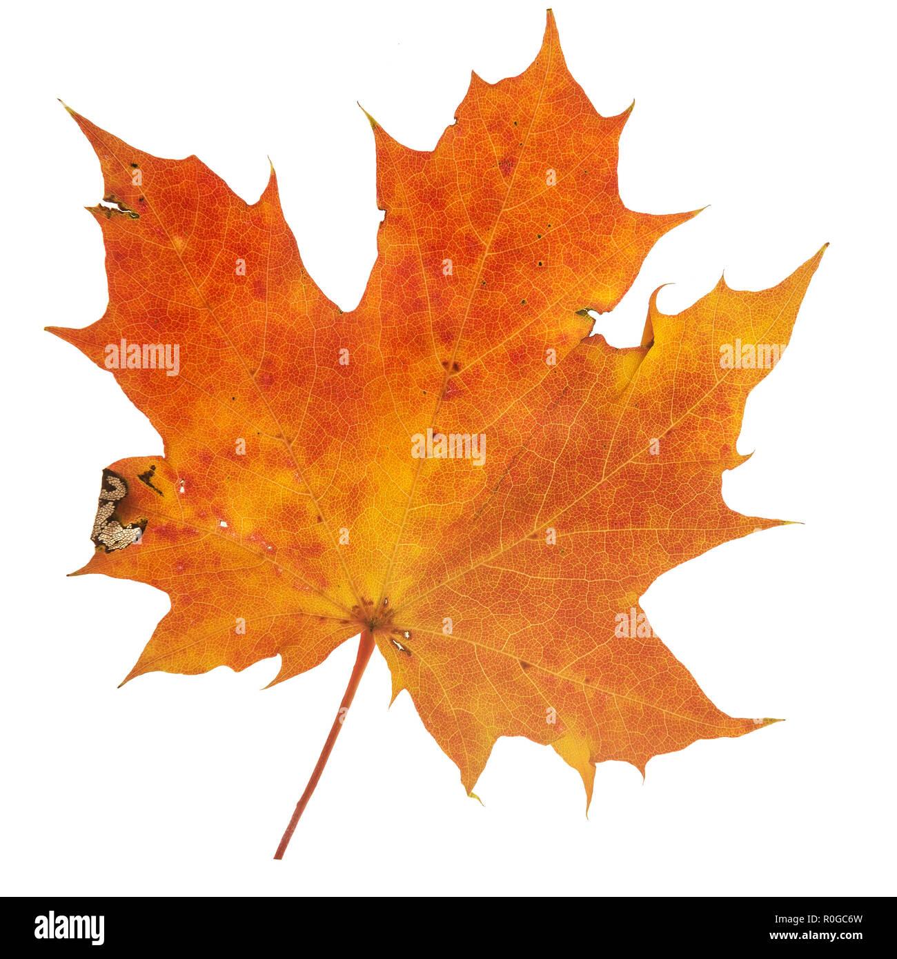 Vibrant detailed colorful autumn leaf on white background. Stock Photo