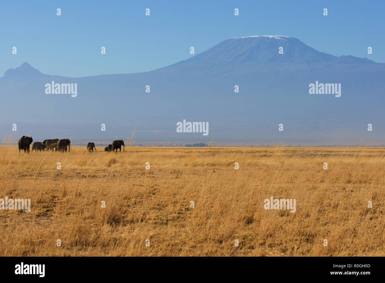 Elephant herd moving in front on Mount Kilimanjaro, view from Amboseli National Park - Stock Image