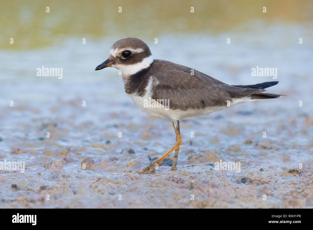 Ringed Plover (Charadrius hiaticula), side view of an adult in winter plumage in Oman - Stock Image