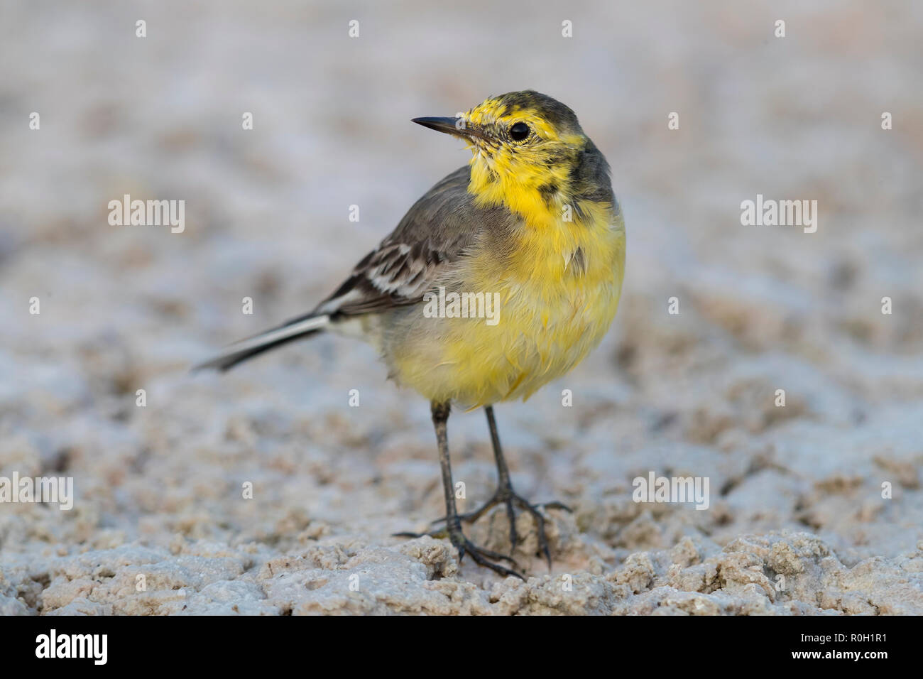 Citrine Wagtail (Motacilla citreola), front view of an adult in winter plumage in Oman - Stock Image