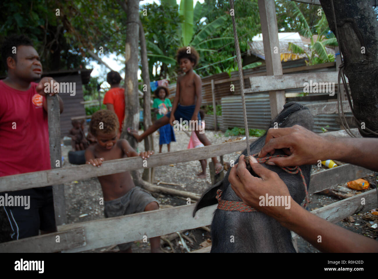Men untying a newly slaughtered pig after hanging it, Honiara, Solomon Islands. - Stock Image