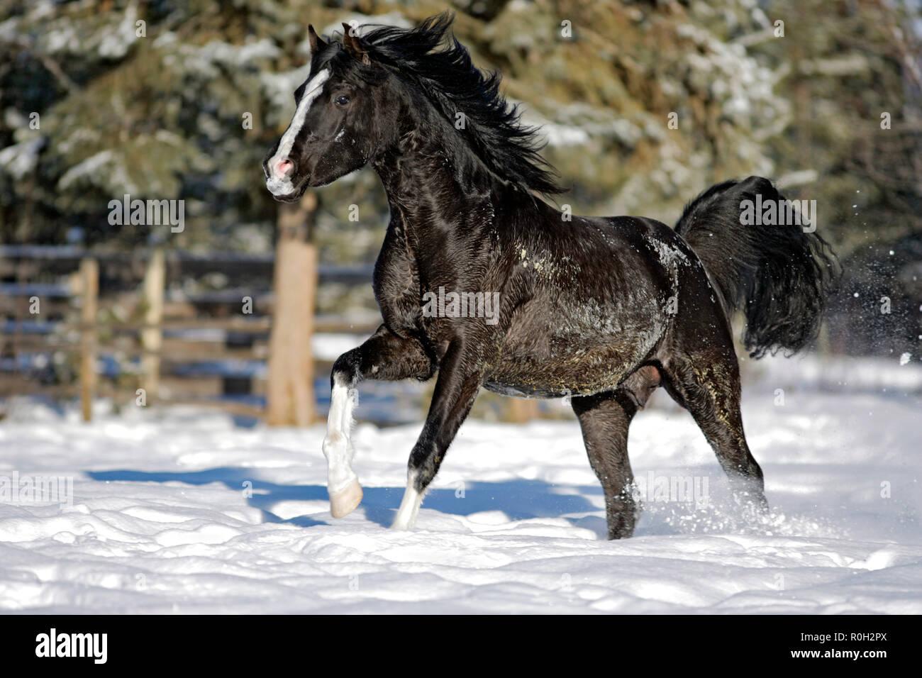 Black Arabian Stallion in winter, running on snow pasture. - Stock Image