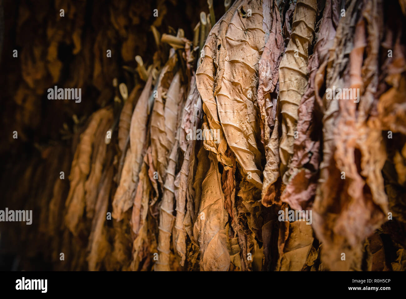 Tobacco leaves being dried in a farm shed - Stock Image