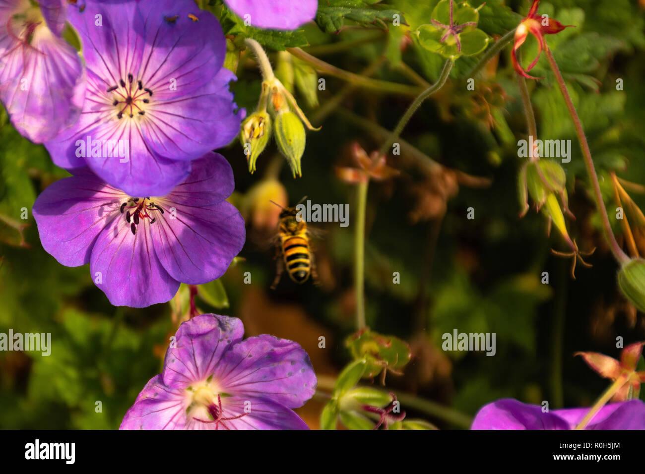 Bee on flower - Api sui fiori - Bienen auf Blumen - Stock Image