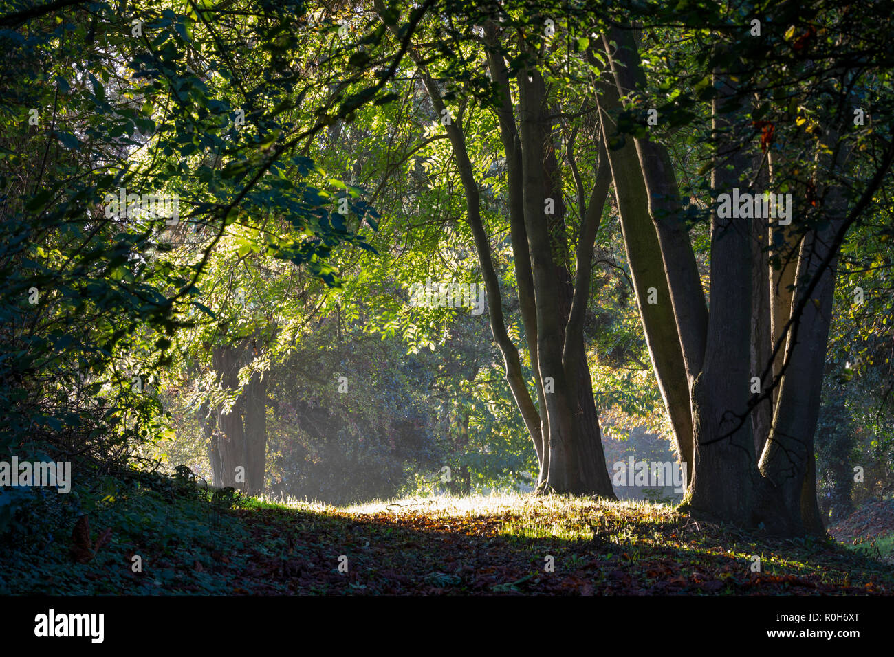 Line of backlit beech trees in morning autumn sunlight, Cotswolds, Gloucestershire, England, United Kingdom, Europe Stock Photo