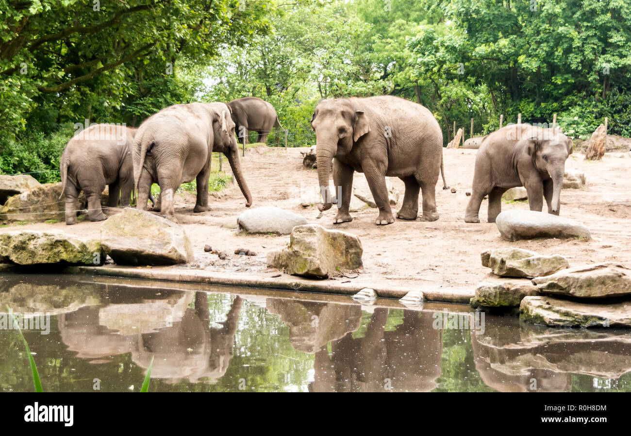 Female Asian elephants (Elephas maximus) with subadults near pond. Adult females and calves move about together as groups - Stock Image