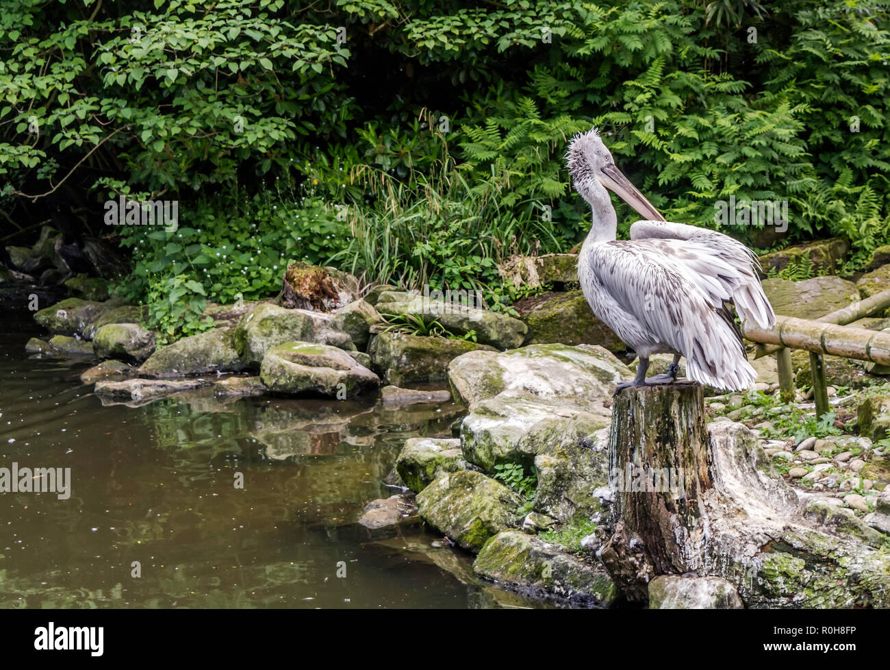 Young Dalmatian pelican (Pelecanus crispus) sitting on a stump near pond. Dalmatian differs from other large species in that it has curly nape feather Stock Photo