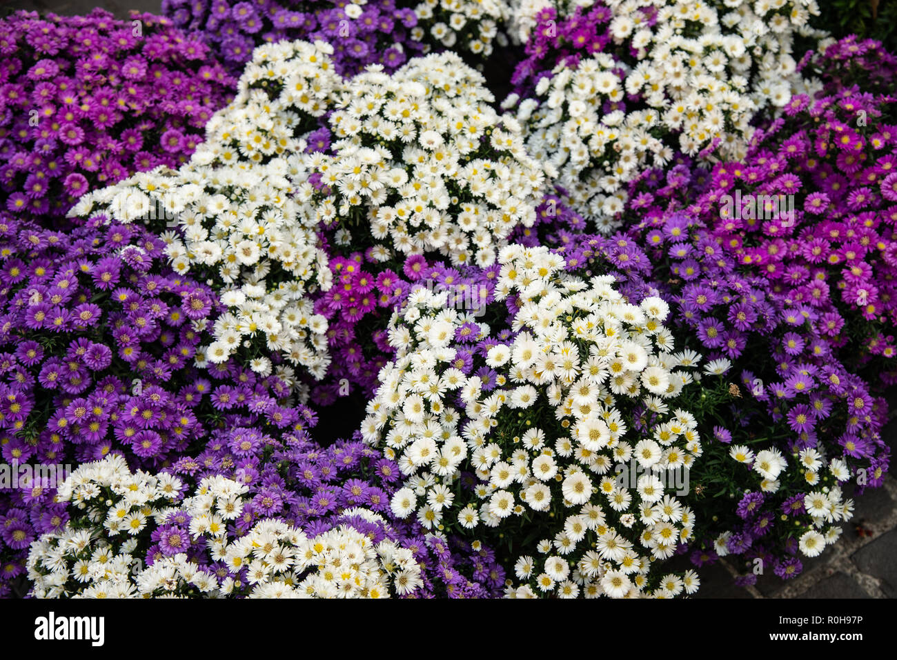 Bouquets Of Flowers White And Purple Aster Flowers Symphyotrichum