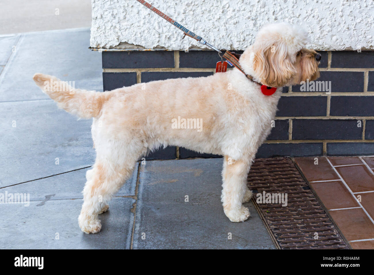 Cavapoo dog wearing red poppy for Remembrance day at Swanage, Dorset UK in November - Stock Image