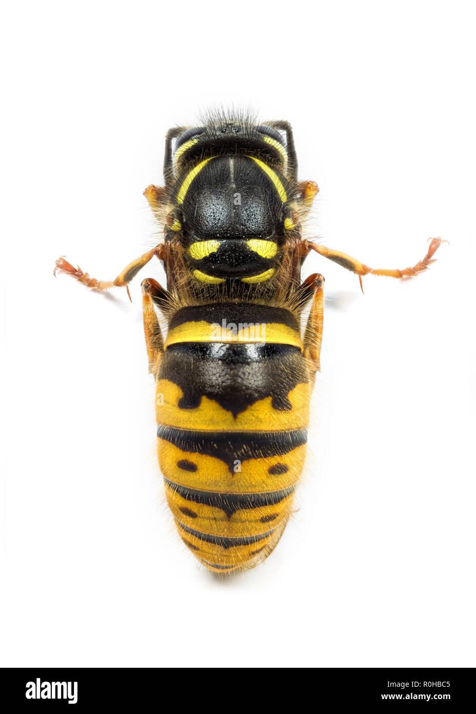 A queen Vespula wasp or yellowjacket preparing to hibernate - Stock Image