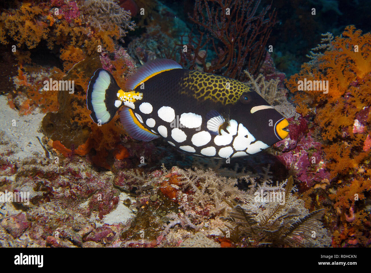 Clown triggerfish (Balistoides conspicillum) at a coral reef, Banda sea, Indonesia - Stock Image